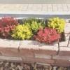 冬の庭も色鮮やかに!リベンジ「カルーナ・ブルガリス」