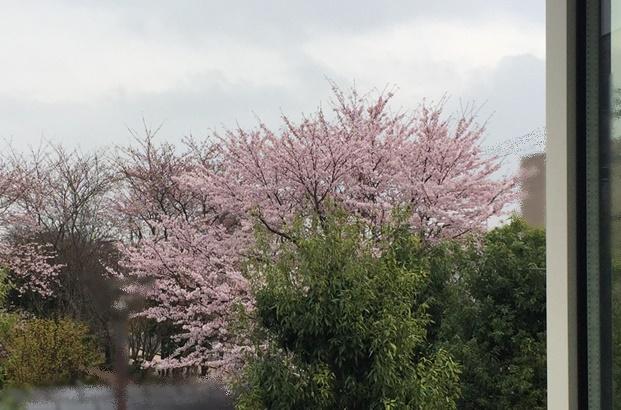 窓から見る桜の木
